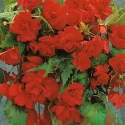 Begonia Odorata Rose/Red - 3 stk
